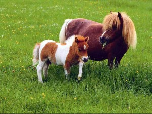 adult_and_baby_pony_side_by_side